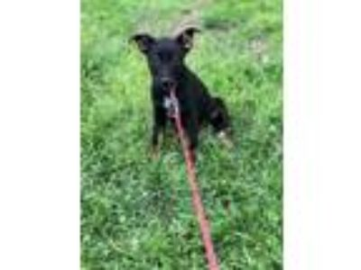 Adopt Khaleesi a German Shepherd Dog, Australian Cattle Dog / Blue Heeler