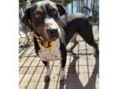 Adopt Jackson a Black Hound (Unknown Type) / Labrador Retriever / Mixed dog in