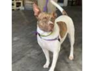 Adopt Jane a Pit Bull Terrier, Cattle Dog
