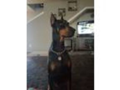 Adopt Blaze a Black - with Tan, Yellow or Fawn Doberman Pinscher dog in Wylie