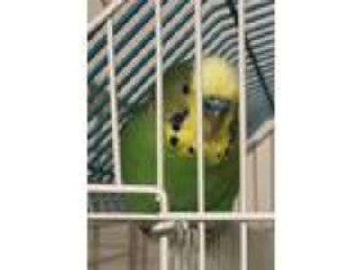 Adopt Teal a Parakeet (Other)