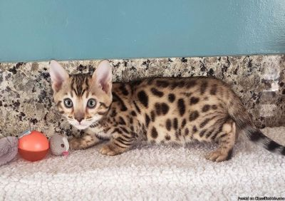 Bengal Kittens To Good Homes.