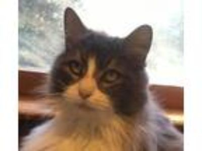 Adopt Max a Maine Coon