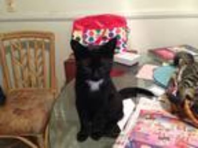 Adopt Fancy Pants a Black (Mostly) American Shorthair (short coat) cat in Nuevo