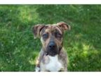 Adopt Max a Catahoula Leopard Dog, Pit Bull Terrier