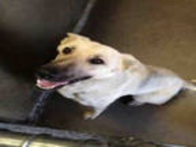 Adopt a White - with Black German Shepherd Dog / Mixed dog in Mojave