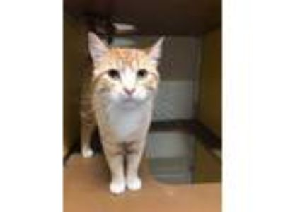 Adopt Mellow a Orange or Red Domestic Shorthair / Domestic Shorthair / Mixed cat