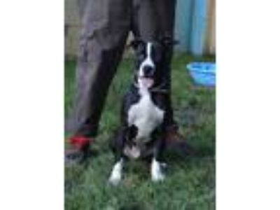 Adopt LINUS a Black - with White American Pit Bull Terrier / Mixed dog in