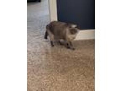 Adopt Booger a Gray or Blue Domestic Shorthair cat in Springfield, NE (25578634)