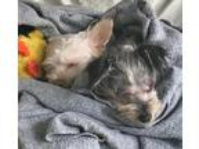 Adopt Varys a Tan/Yellow/Fawn - with Black Silky Terrier / Mixed dog in Walnut