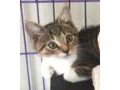 Adopt Scooter a Brown Tabby Domestic Shorthair (short coat) cat in Colmar