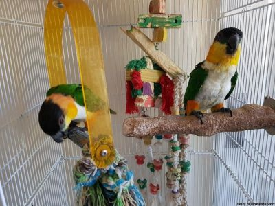 Beautiful and Talking Hyacinth Macaw Parrots for Sale