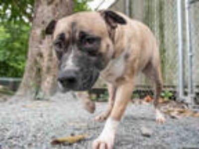 Adopt CANDYCANE a Brown/Chocolate - with White American Pit Bull Terrier / Mixed