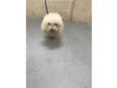 Adopt MUFFY a White Bichon Frise / Mixed dog in Conroe, TX (25868355)