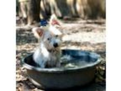Adopt CANNON a White Terrier (Unknown Type, Small) / Mixed dog in Darien