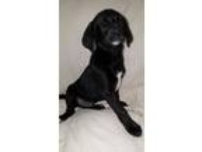 Adopt Zayne a Labrador Retriever, Golden Retriever