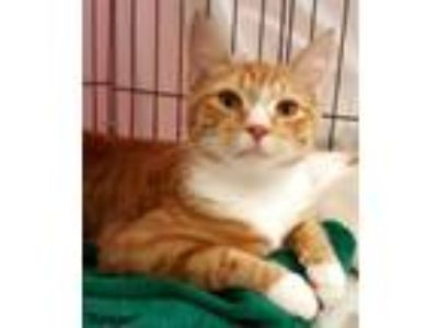 Adopt Rodger a Domestic Short Hair