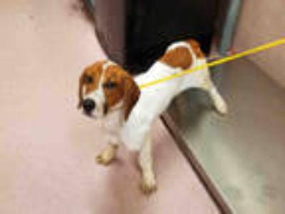 Adopt SNAP a White - with Brown or Chocolate Basset Hound / Jack Russell Terrier