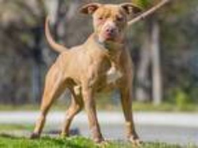 Adopt JAKE a Brown/Chocolate American Pit Bull Terrier / Mixed dog in Long