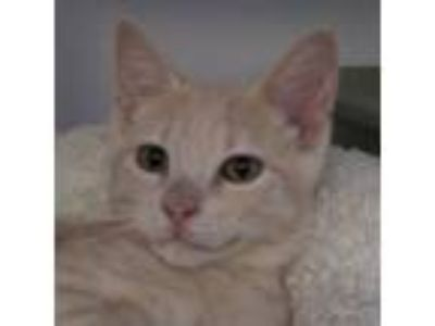Adopt Gaston a Orange or Red Domestic Shorthair / Domestic Shorthair / Mixed cat