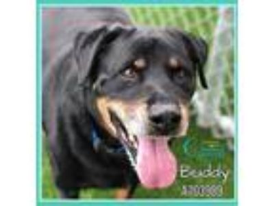 Adopt BUDDY a Black - with Tan, Yellow or Fawn Rottweiler / Mixed dog in