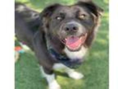 Adopt SPIKE a Border Collie