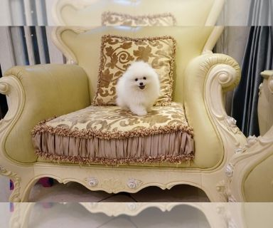 Pomeranian PUPPY FOR SALE ADN-127358 - super super cute teacup white puffy pomeranian boy