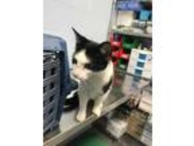 Adopt Jolene a All Black Domestic Shorthair / Domestic Shorthair / Mixed cat in