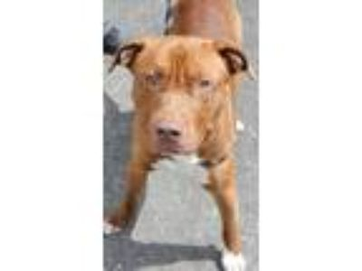 Adopt RANDY a Red/Golden/Orange/Chestnut - with White American Pit Bull Terrier