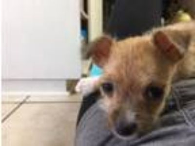 Adopt Zsa-Zsa a Tan/Yellow/Fawn - with Black Terrier (Unknown Type