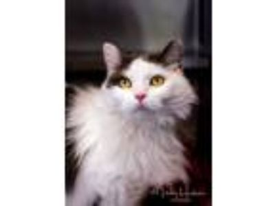 Adopt Gracie a Domestic Long Hair