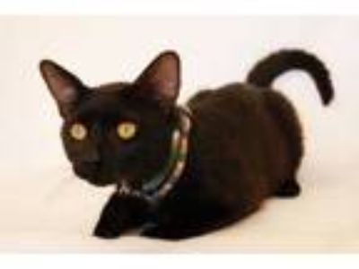 Adopt Roland a All Black Domestic Shorthair / Domestic Shorthair / Mixed cat in