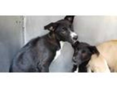 Adopt GRUMPY a Black - with White Labrador Retriever / Mixed dog in San Antonio