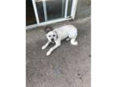 Adopt Clara a White - with Brown or Chocolate Anatolian Shepherd dog in Candler