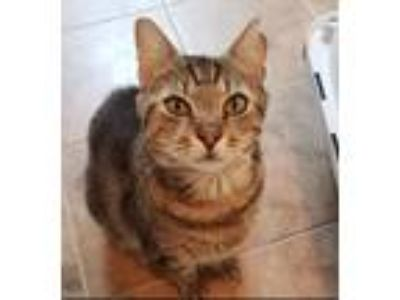 Adopt Nacho a Brown Tabby Domestic Shorthair (short coat) cat in Cherry Hill