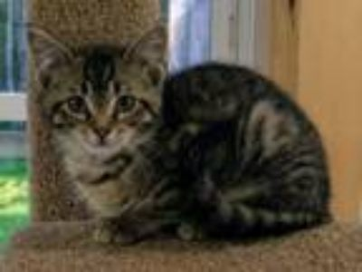Adopt Neville a Domestic Short Hair
