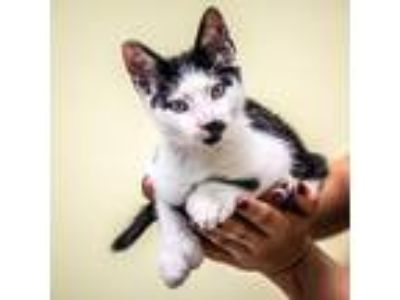Adopt Toes a Hemingway/Polydactyl / Mixed (short coat) cat in St.
