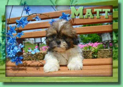 Matt Male Shihtzu