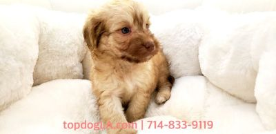 Cockapoo Puppy - Male - JoJo ($1,199)