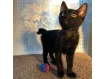 Adopt Nutshell a All Black Domestic Shorthair / Domestic Shorthair / Mixed cat