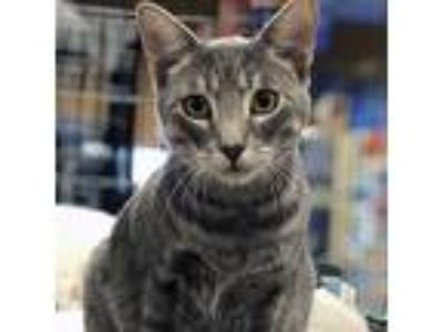 Adopt Ralph a Gray, Blue or Silver Tabby Domestic Mediumhair / Mixed cat in
