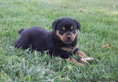 Exciting male and female German rottweiler puppies ready to go