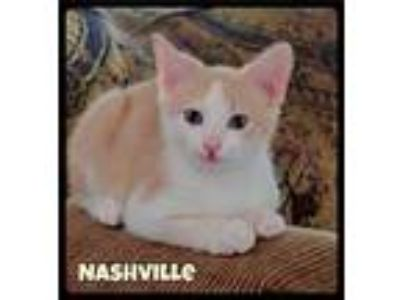 Adopt Nashville - Foster / 2019 a Orange or Red (Mostly) Domestic Shorthair /