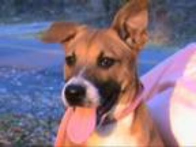 Basenji - For Sale Classifieds in Tyler, Texas - Claz org