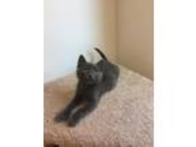 Adopt Conundrum a Domestic Shorthair / Mixed cat in St. Paul, MN (25560828)
