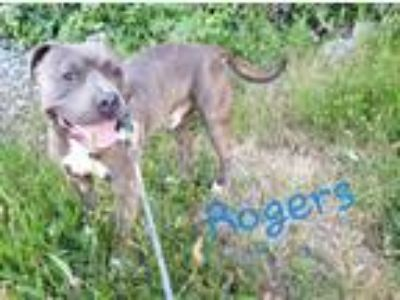 Adopt ROGERS a Brindle - with White American Pit Bull Terrier / Mixed dog in