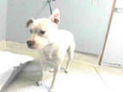 Adopt CURLEY SUE a White - with Tan, Yellow or Fawn American Staffordshire