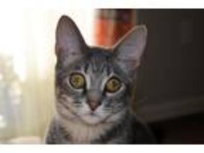 Adopt Ronnie a Gray or Blue Domestic Shorthair (short coat) cat in Durham