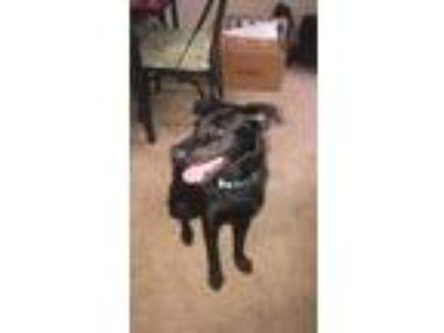 Adopt Bellatrix a Black Labrador Retriever dog in Myrtle Beach, SC (25231107)