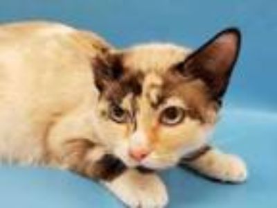 Adopt Leche a White Siamese / Domestic Shorthair / Mixed cat in Golden Valley